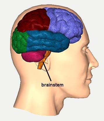 brainstem11.jpg